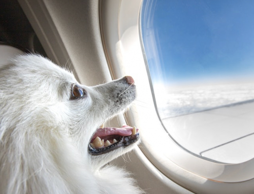 Flying With Your Furry Companion